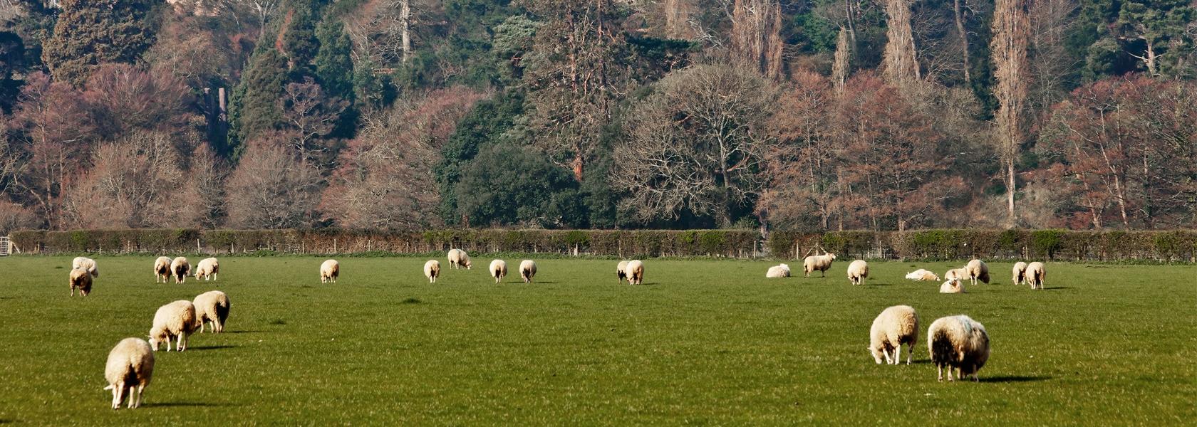 Sheep_Dunster_Castle_1680px