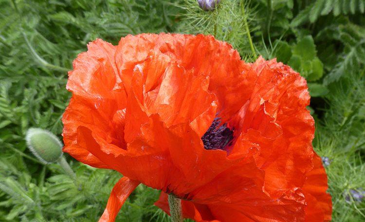 OSS_Garden_red_flower