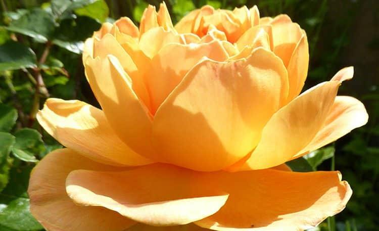 OSS_Garden_rose_2